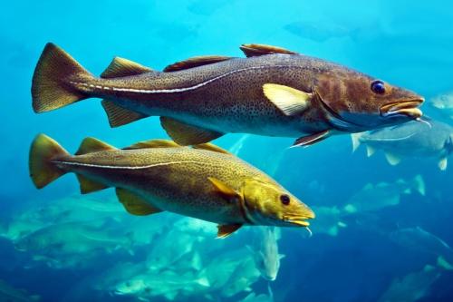 Tengeri hidegvízi halak