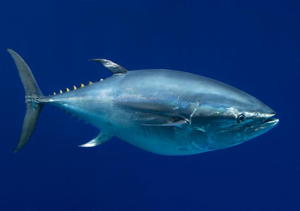 Tonhal, az óceánok szürke marhái