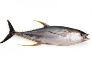 Sárgauszonyú tonhal